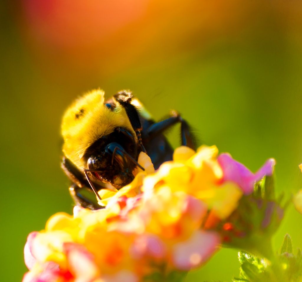 Early Morning Bee. Boston Commons. Shot with a Canon 40D.