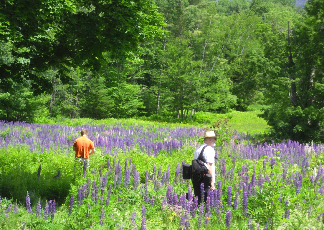 Enveloped in Lupins, Bethlehem, NH.  Shot with a Canon 40D.