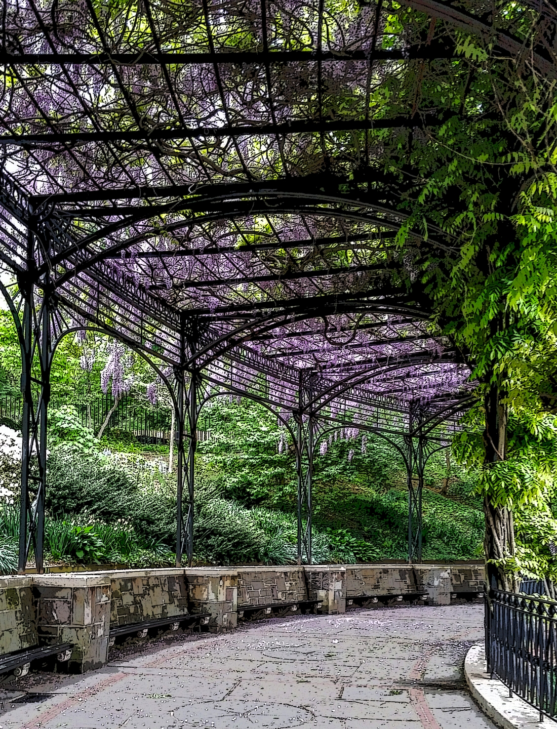 Central Park Conservancy Walk. Wisteria in Bloom.