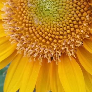 Sunflower burst. Shot with a Samsung Galaxy S5.