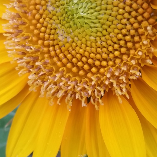 Sunflower burst. Shot with a Samsung Galaxy S5.