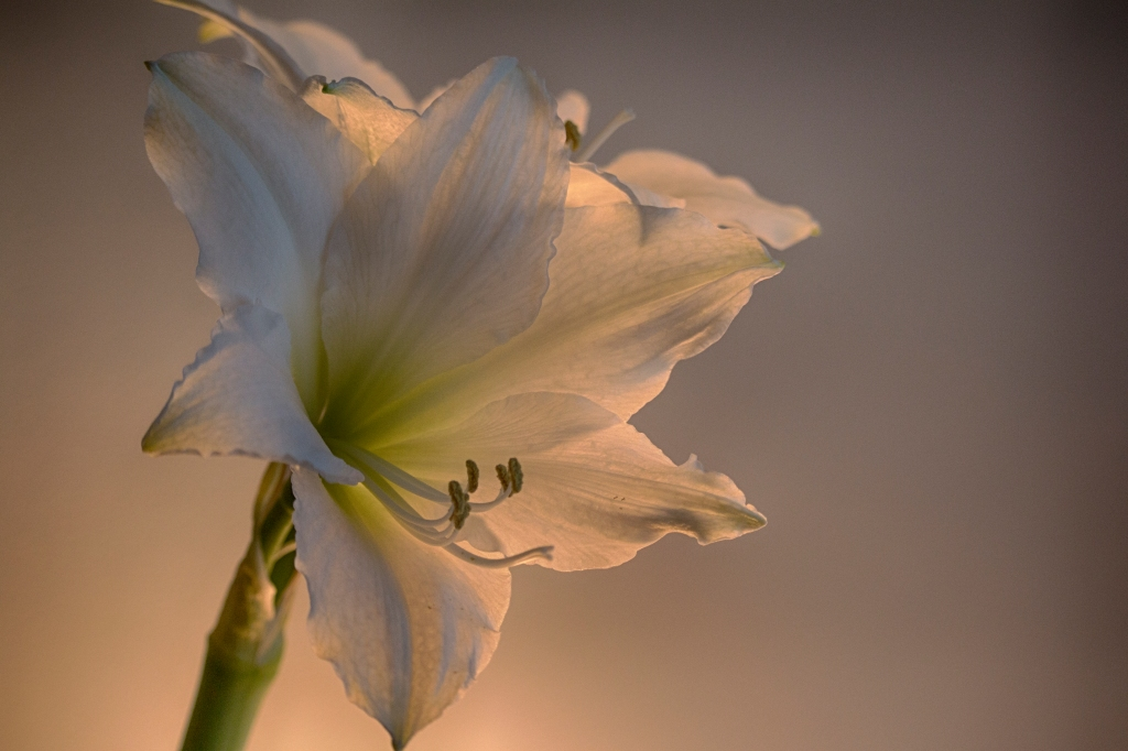 Spring is coming. Amaryllis Bulb. Shot with a Canon 70D.