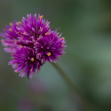Flower Burst, Shot with a Fuji X-T2. Meijer Gardens, Grand Rapids, MI